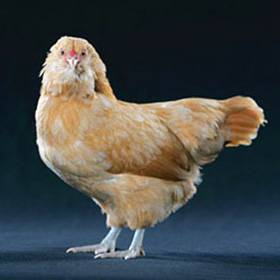 Chicken Breeds - Easter Eggers