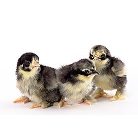 Day Old Chicks Black Frizzle Cochin Bantam