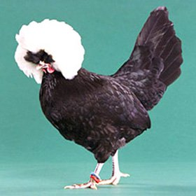 White Crested Black Polish Bantam