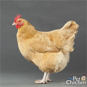 Started Pullet - Buff Orpington