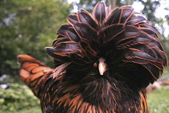 Backyard Chicken Pictures A Golden Laced Polish Hen