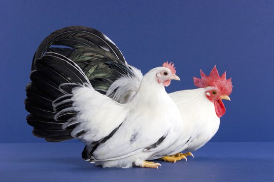 How can I find a breeder for a specific rare chicken breed?