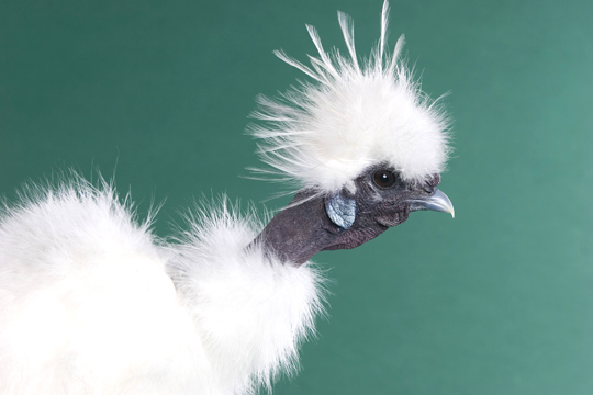 Showgirl Silkie Rooster