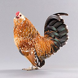 Chicken Breeds Antwerp Belgian Bantam