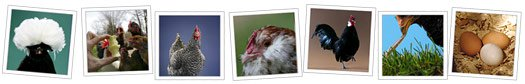 Sneak peek of our chicken pictures gallery