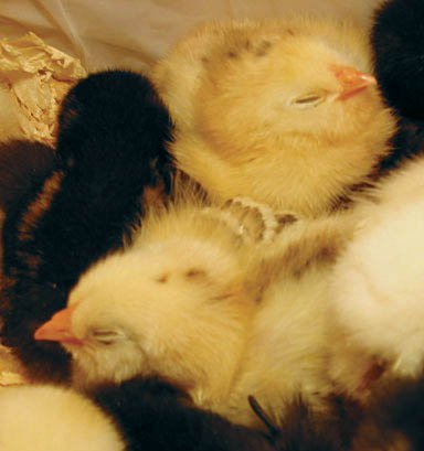 Backyard Chicken Pictures - Baby chicks sleeping (a ...