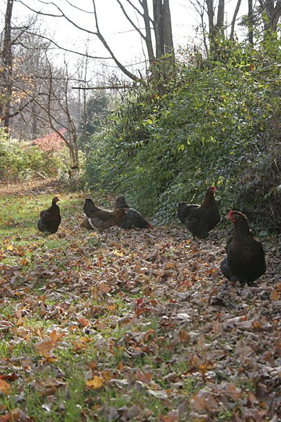 Caption: Chickens lo-ove to range freely, especially when there's something interesting (like leaves) to dig through.