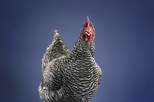 Caption: Our Barred Plymouth Rock hen grudgingly posed for some test shots while the My Pet Chicken photo team set up the mobile studio we'd later use on the road at poultry shows.