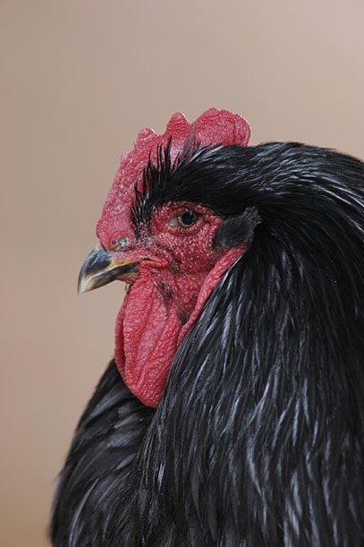 Caption: Close-up of a regal and dignified Blue Cochin hen.