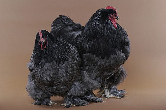 Caption: This jumble of feathers is actually a pair of Cochins, noted for their massive, fluffy appearance, feathered feet and good-naturedness. The hen is on the left; the cock is on the right.