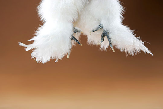 Caption: Yes, these are chicken feet! Silkies are one of the few birds that has 5 toes instead of the usual 4. They also are totally unique in having black skin and fur-like feathering.