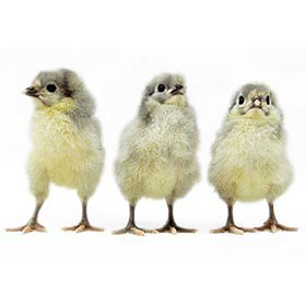 Lavender Orpington chicks