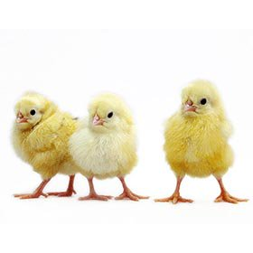 Day-Old Chicks: Austra White