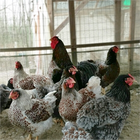 Hatching Eggs: Blue/Black/Splash Laced Red Wyandotte (6 eggs)