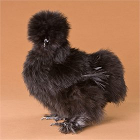 Day-Old Chicks: Black Silkie Bantam
