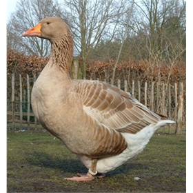 Goslings: Buff