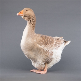 Goslings: Buff Toulouse