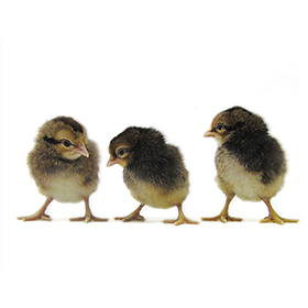 Day-Old Chicks: Cream Legbar