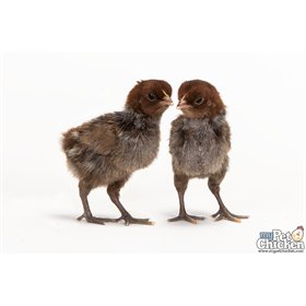 Day-Old Chicks: Egyptian Fayoumi