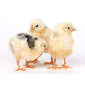 Day-Old Chicks: Exchequer Leghorn