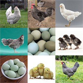 Day-Old Chicks: Exclusive Blues & Greens Assortment
