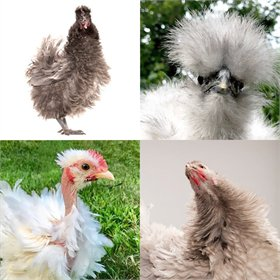 Hatching Eggs: Fun & Funky (a.k.a. chickens of Instagram)
