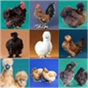 Day-Old Chicks: Feather-Legged Bantam Assortment