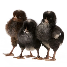 Day-Old Chicks: Golden Cuckoo Marans