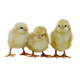 Day-Old Chicks: Jubilee Orpington