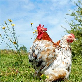 Hatching Eggs: Breeder's Choice Assortment
