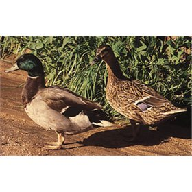 Ducklings: Mallard