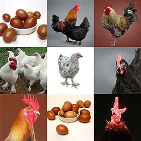 Day-Old Chicks: Rare Marans Assortment