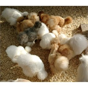 Hatching Eggs: Assorted Show Quality Silkies (6 eggs)