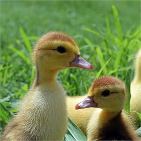 Ducklings: Assorted