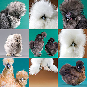 Day-Old Chicks: Silkie Bantam Assortment