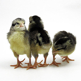 Day-Old Chicks: Silver Gray Dorking