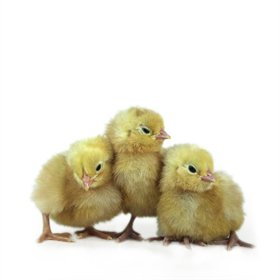 Day-Old Chicks: Snowy Easter Egger