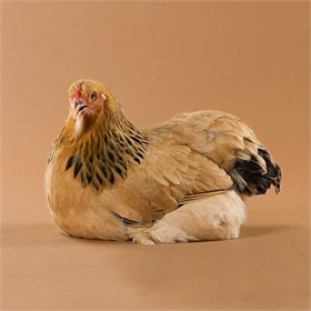 Day-Old Chicks: Buff Brahma