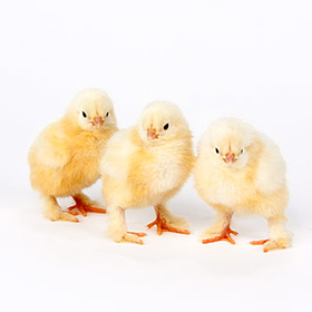 Day-Old Chicks: White Cochin