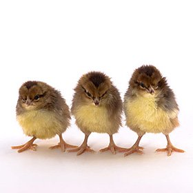 Day-Old Chicks: Speckled Sussex