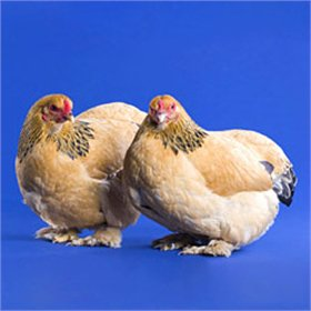 Day-Old Chicks: Buff Brahma Bantam