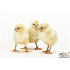 Day-Old Chicks: Super Blue Egg Layer