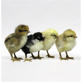 Day-Old Chicks: Swedish Flower Hen
