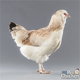 Hatching Eggs: Wheaten Favacauna