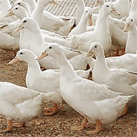 Ducklings: White Layer