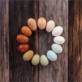 Hatching Eggs: Intense Egg Colors Assortment