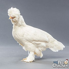 Day-Old Chicks: White Sultan
