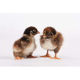 Day-Old Chicks: Double-Laced Barnevelder