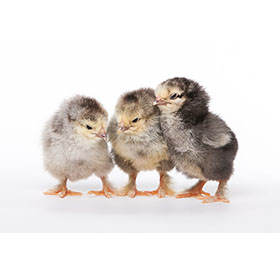 Day-Old Chicks: Light Brahma