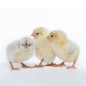 Day-Old Chicks: Blue Splash Marans